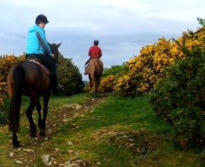 Two horses with riders riding along a trail between two yellow flowered gorse bushes