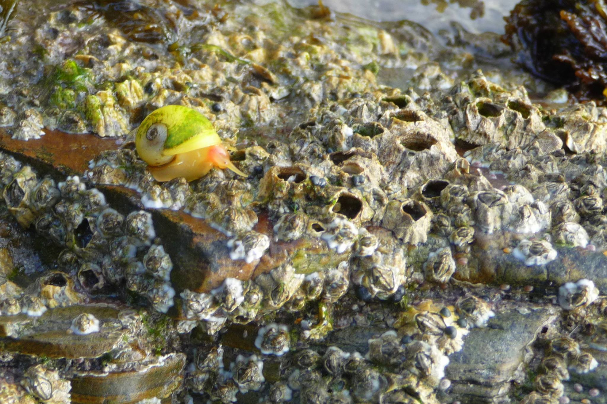 A brightly coloured snail on a barnacle covered rock