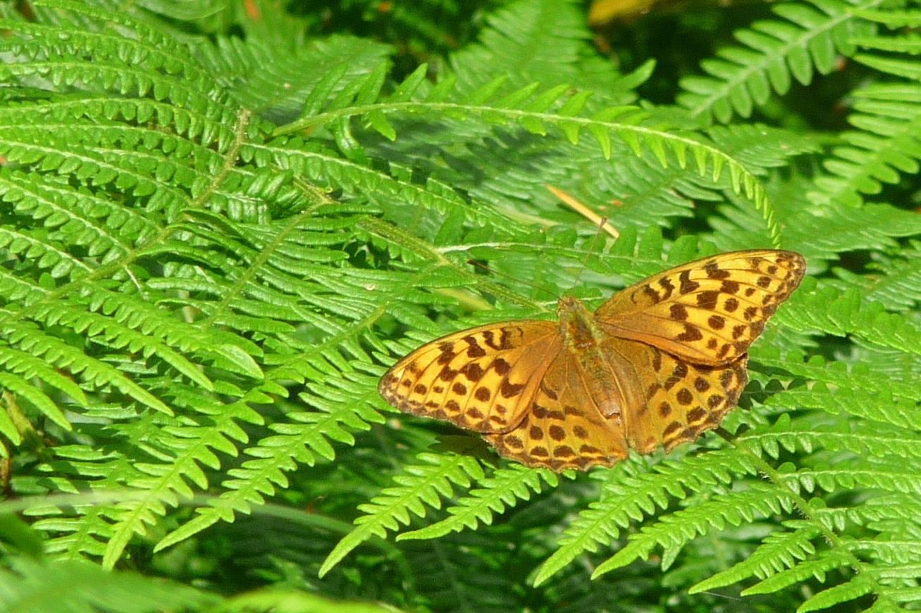 An orange butterfly with brown spots with it's wings open on a bracken frond.