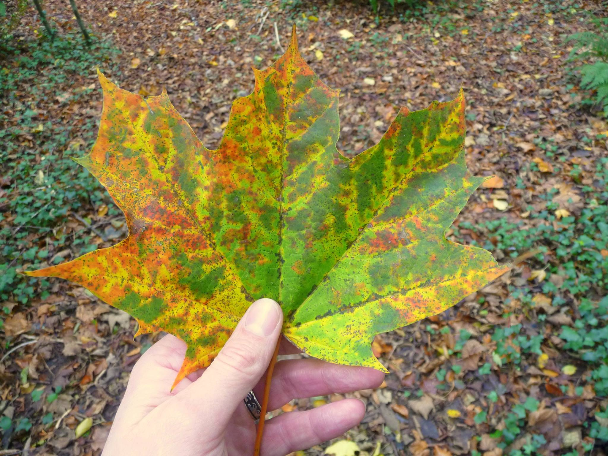 A maple leaf with yellow and red colouring