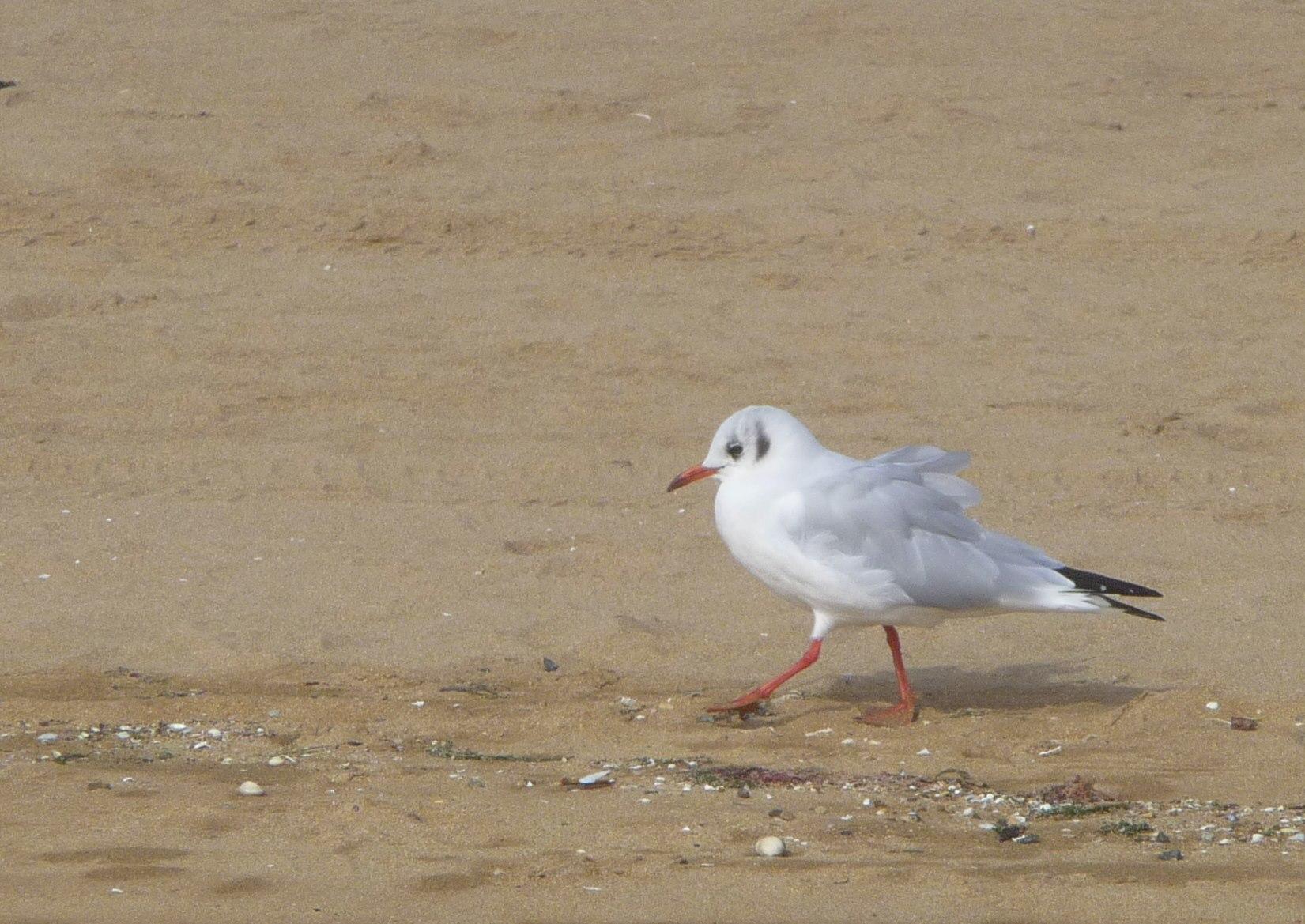 A seagull on a sandy beach
