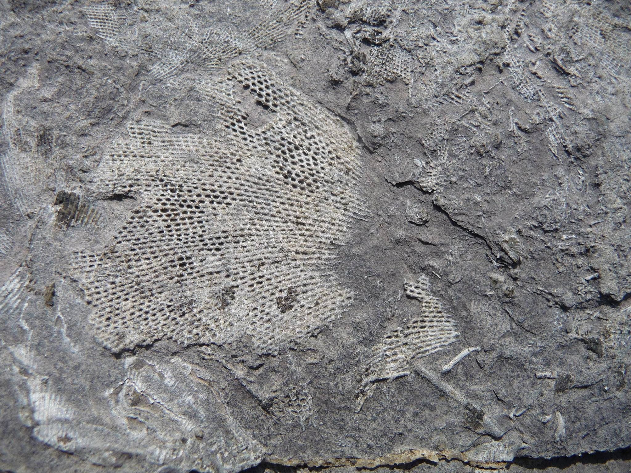 A net like fossil in a limestone rock