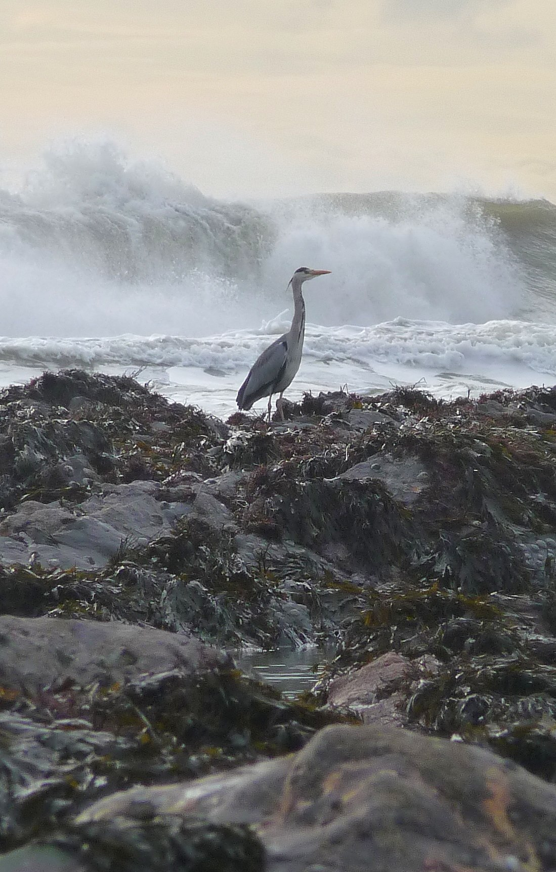 A large bird stands on seaweed covered rocks with waves crashing in the background