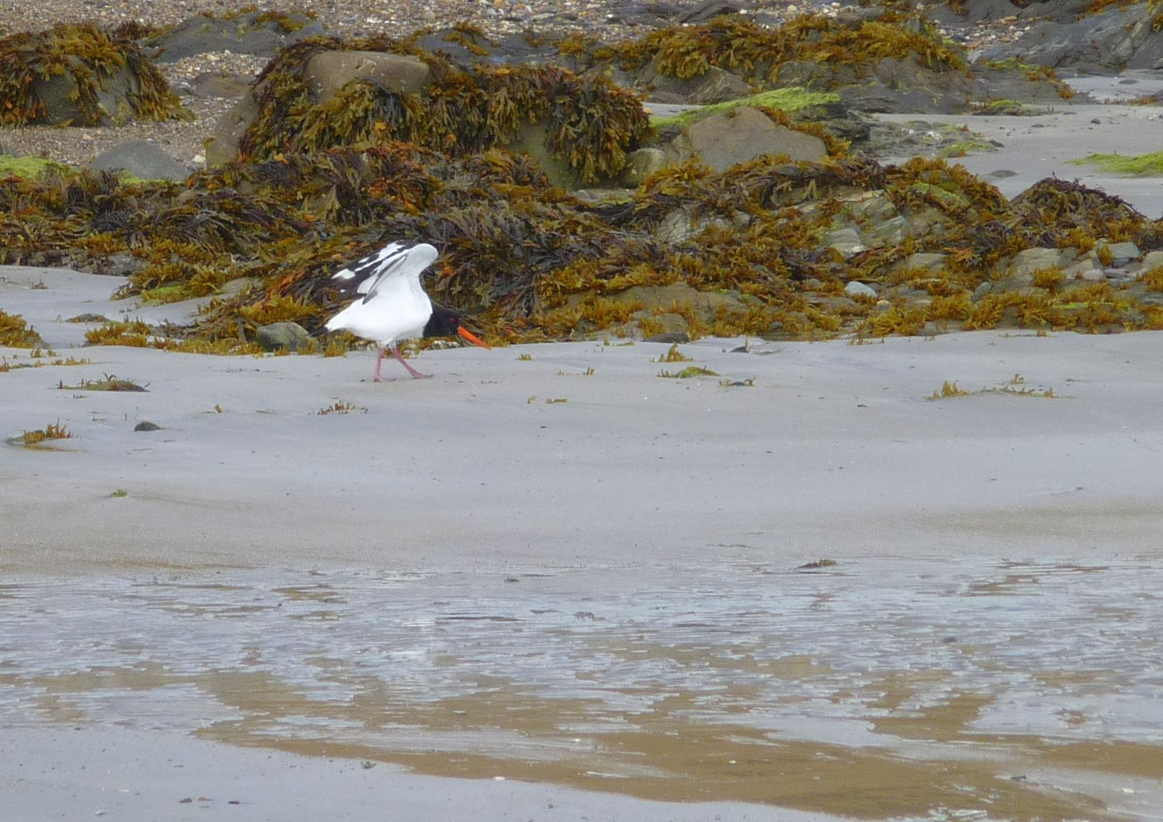 An black and white bird with a red bill on a beach