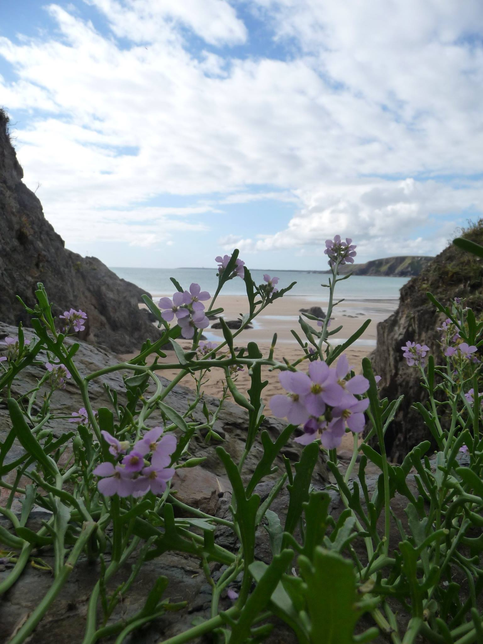 A pink flower on a green stemed plant with a beach and ocean in the background