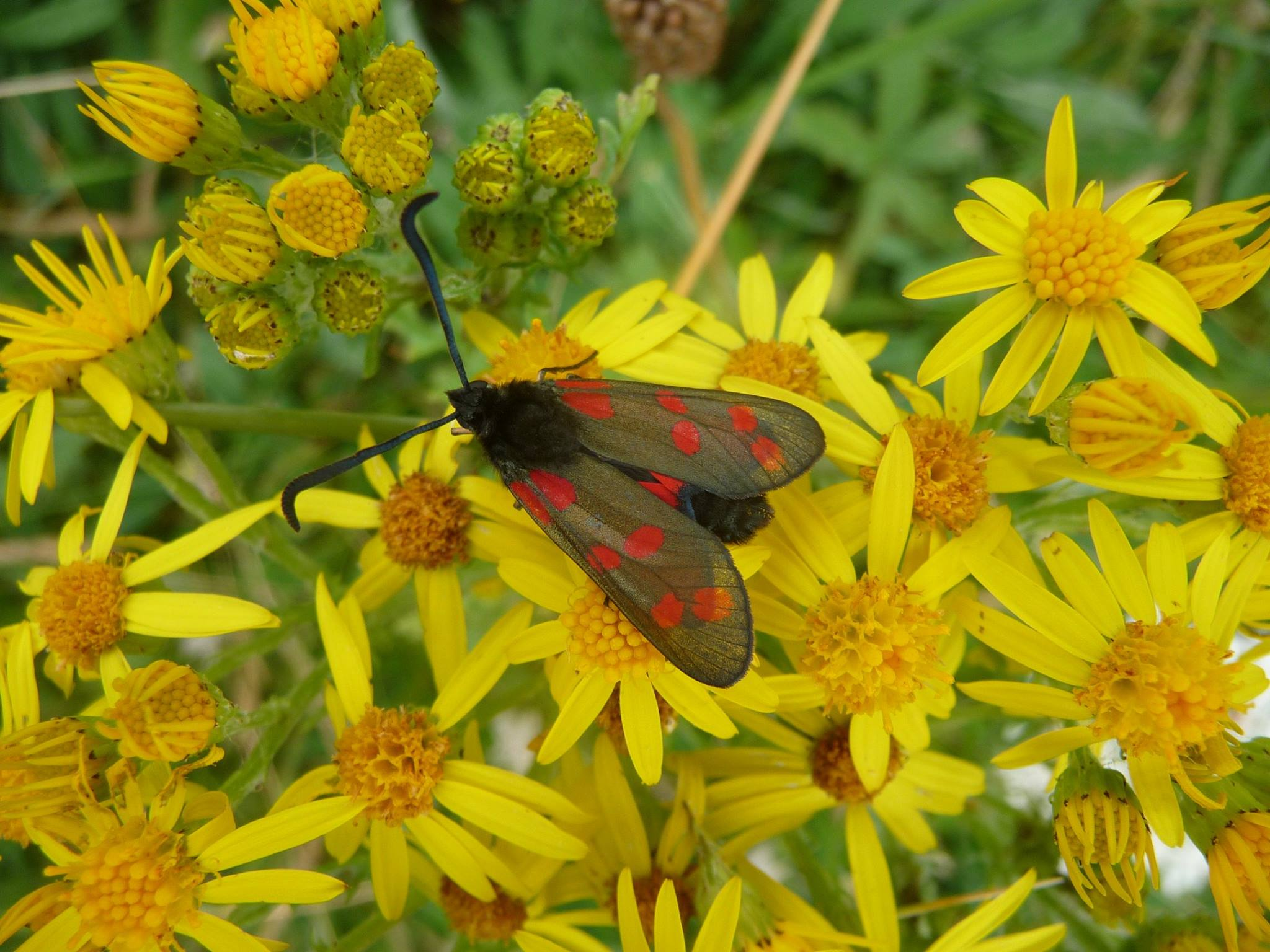 A moth with red spotted wings with yellow daisy like flowers inthe background