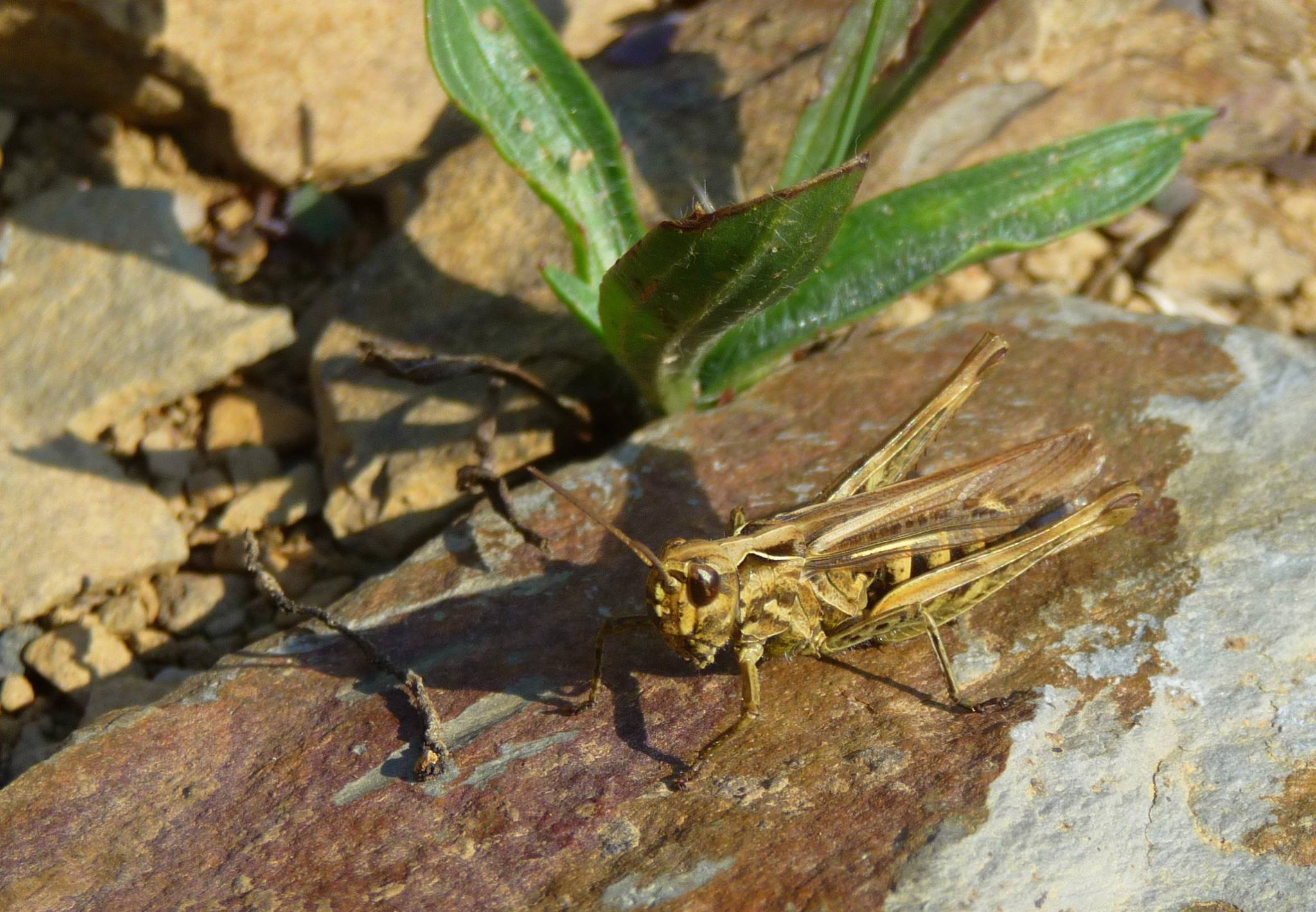 A grasshopper sitting on a rock with a plant in the background