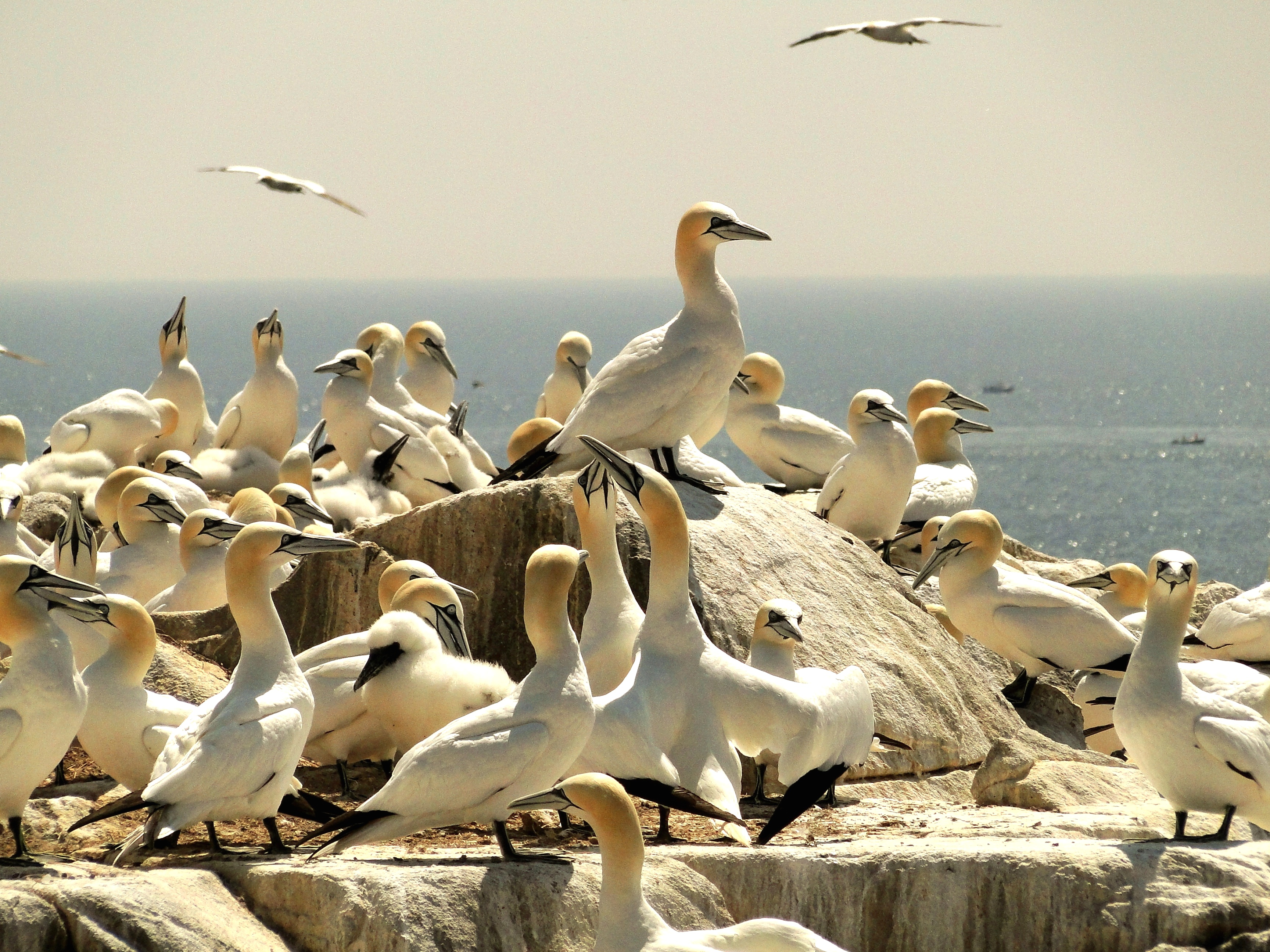 A group of gannets with one perched on a rock above the rest