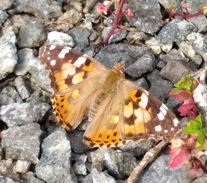 An orange butterfly with brown and white spots against a background of grey gravel.