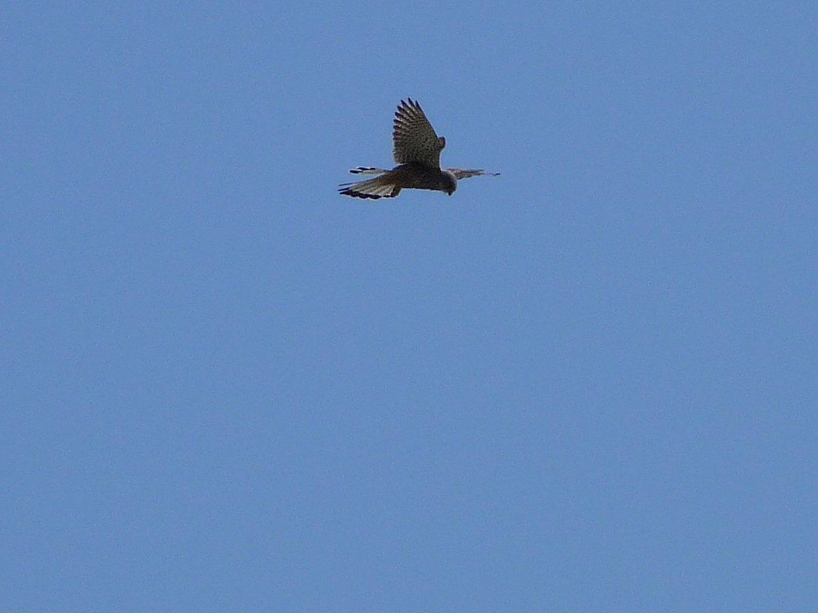A Kestrel hovering against a blue sky