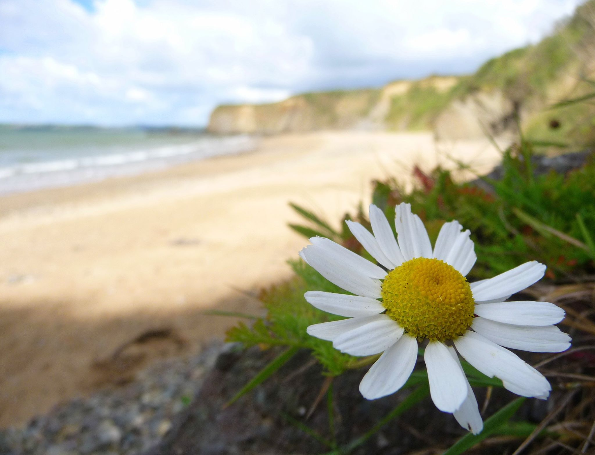 A close up of a daisy like flower with a beach in the background.