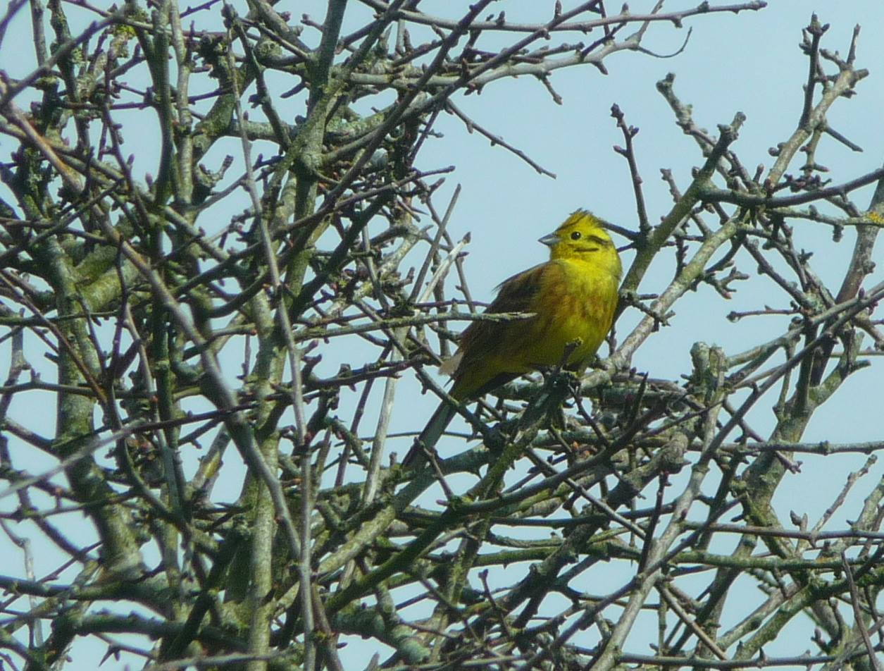 Bright yellow bird perched in amongst some branches.